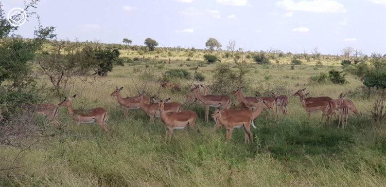 อุทยานแห่งชาติ Kruger แอฟริกาใต้ หนึ่งในเขตอนุรักษ์สัตว์ป่าที่บริหารจัดการดีที่สุดในโลก