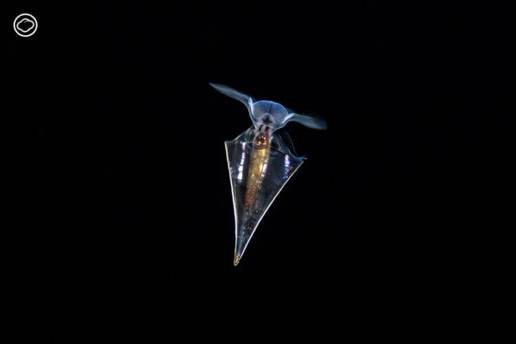 'แพลงก์ตอน' สัตว์ทะเลลึกลับที่สอนบทเรียนเรื่องการพลัดพรากและจุดตัดระหว่างสองชีวิต