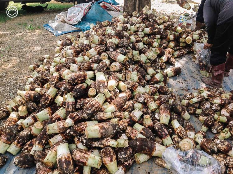 เผือกอิ่มใจ แคมเปญขนมแจกฟรีของบางจากที่ช่วยเกษตรกรฝ่าวิกฤตเป็นปีที่ 23