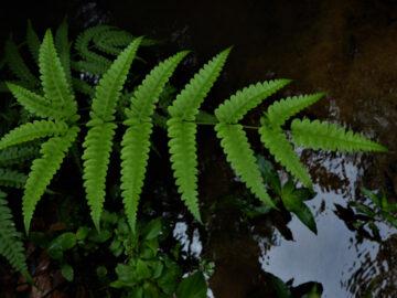 เดินป่ากับคนรักเฟิร์น เรียนรู้ภูมิปัญญาปกาเกอะญอเรื่องพืชที่บอกความสมบูรณ์ของป่า