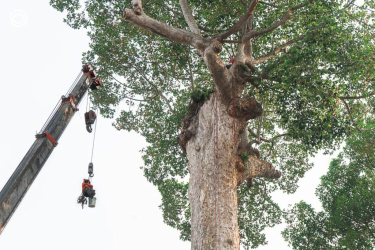 วิธีรักษายางนาอายุ 200 กว่าปี ตั้งแต่ขุดรากจนบินโดรนดูยอด เพื่อ #Save ไม้หมายเมืองเชียงใหม่