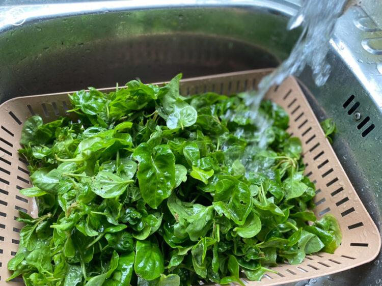 สอนปลูกผักเป็ด ผักไทยคุณประโยชน์สูงที่ปลูกง่าย และเด็ดใช้ได้ไม่รู้จบ