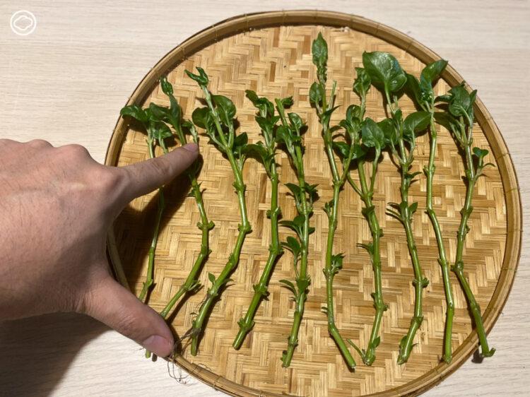 วิธีการปลูกผักเป็ดญี่ปุ่น โดยการปักชำ