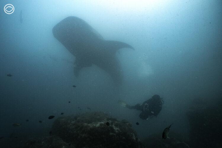 บางครั้งหินแปดไมล์ก็มีสภาพน้ำขุ่น การโผล่มาใกล้ๆ ของฉลามวาฬเป็นเซอร์ไพรส์ให้นักดำน้ำ