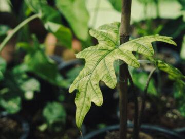 12 ต้นไม้ตระกูลบอนยุคใหม่ที่เลี้ยงง่าย มีลวดลายเฉพาะตัว ตั้งแต่ต้นจิ๋วยันสูงท่วมหัว