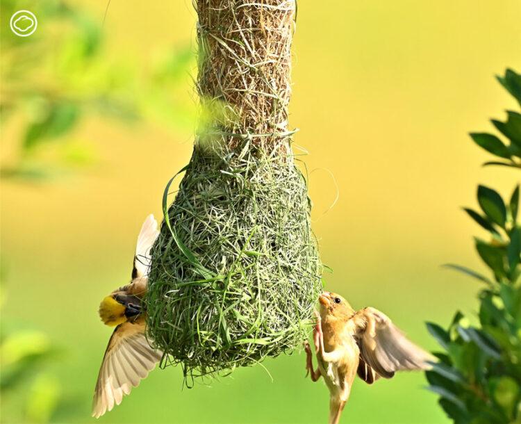 ส่องรังนกกระจาบ สัตว์ป่าคุ้มครองที่เป็นเหมือนสถาปนิกนักสานรังแสนประณีต เพื่อหาคู่ครองในฤดูผสมพันธุ์