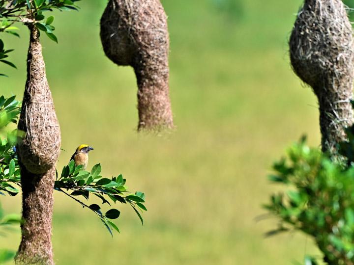 นกกระจาบ สถาปนิกนักรักของโลก สัตว์ป่าคุ้มครองผู้ขยันสานรังรักอันซับซ้อนไว้จีบสาว