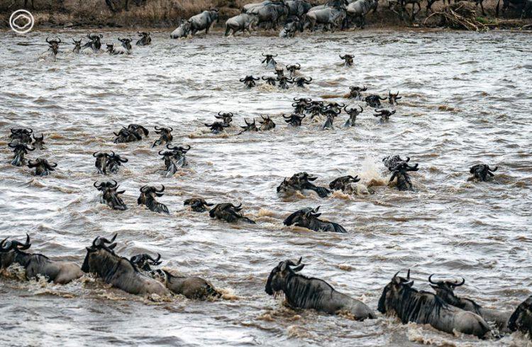 ฝูง วิลเดอบีสต์ ในขณะที่ว่ายน้ำข้ามกระแสน้ำอันเชี่ยวกรากของแม่น้ำมารา