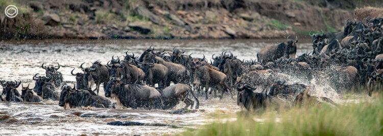 ความสับสนวุ่นวายเกิดขึ้นเมื่อ Widebeest กลุ่มหน้าสุดตัดสินใจกระโดดนำลงไปในแม่น้ำอันเชี่ยวกรากในช่วงเวลาใกล้ค่ำ