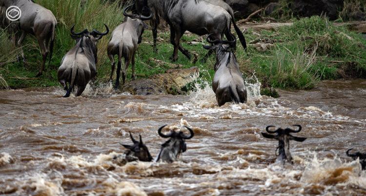 จระเข้แม่น้ำไนล์ขนาดใหญ่ดักรอ Wildebeest ที่ตื่นตระหนกวิ่งเข้ามาหาปากของมัน ในขณะที่นอนซุ่มตัวอยู่เฉยๆ ริมฝั่งน้ำ