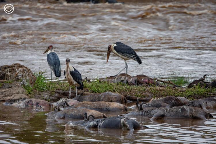 นก Marabou Stork เก็บกินซาก Wildebeest ที่จมน้ำตายลอยมาติดอยู่ในบริเวณตลิ่งข้างแม่น้ำมารา ในแต่ละปีจะมี Wildebeest ตายลงในระหว่างการเดินทางไม่ต่ำกว่า 2 แสนตัว