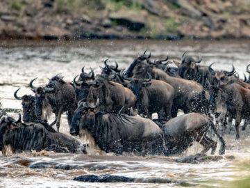 The Great Migration การอพยพข้ามแม่น้ำทุกปีของวิลเดอบีสต์นับล้านตัวในทวีปแอฟริกา