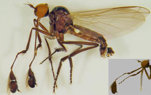 ก้นเด้ง ขนหน้าแข้งดกดำ การห่อของขวัญใหญ่เบิ้ม สารพัดกลวิธีทำตัวเซ็กซี่ขยี้ใจในหมู่แมลง Dance Fly