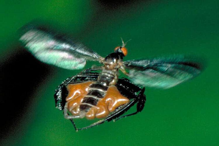 ศิลปะความงามเซ็กซี่ของแมลงวัน Dance Fly อยู่ที่บั้นท้ายและสินสอด