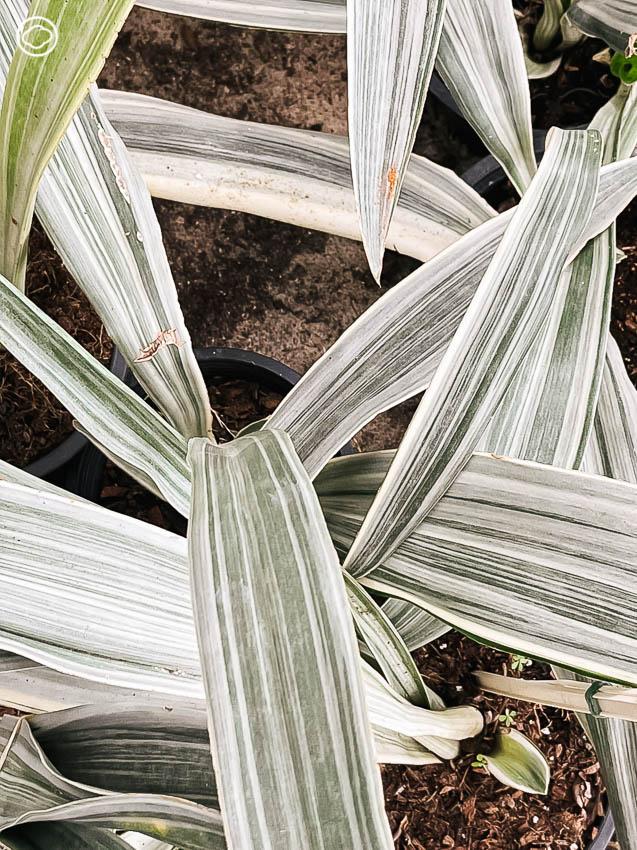รวม ต้นไม้ด่าง ราคาเบา เลี้ยงง่าย ตายยาก ทั้งต้นไม้โบราณ โมเดิร์น และต้นที่คุณอาจจะไม่รู้ว่า มันมีพันธุ์ด่างด้วย