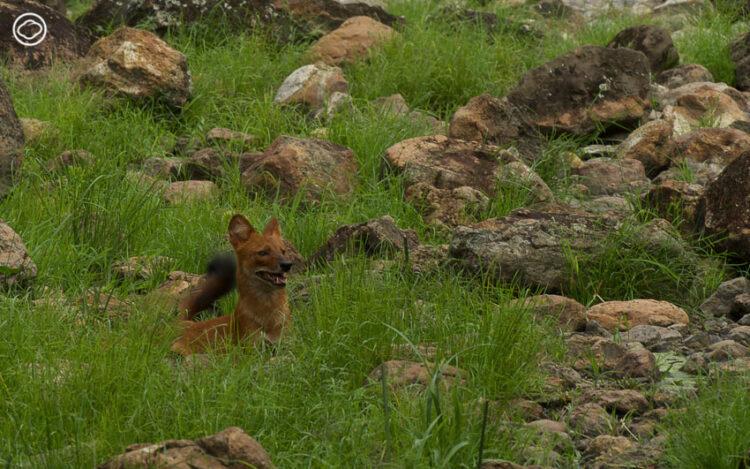 ชีวิตที่ถูกต้อนจนมุม ความดุร้ายของสัตว์ป่าที่ทำให้ป่าไม้ไทยดูน่ากลัวขึ้น
